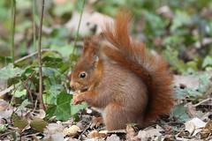 Red Squirrel - Ecureuil Roux (tagann) Tags: parc de sceaux ecureuil perruche squirrel redsquirrel parisarea paris forest foret ecureuilroux