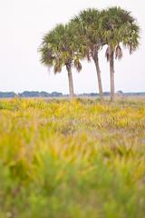 Sabal palmetto (Cabbage palm) (KeithABradley) Tags: unitedstates fl okeechobee ecosystems arecaceae monocots sabalpalmetto dryprairie