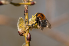 Bee-3845 (WendyCoops224) Tags: tree sunshine yellow canon eos first bee willow feed signsofspring 70d 100400mml localbirdswildlife wendycooper
