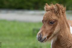 Pauli (2014) (HendrikSchulz) Tags: wolke stall mini pony shetland pauli shetty weh 2014 minishetty minishetlandpony biesendorf friesenstallweh