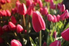 IMG_3620 (Gkmen Kmrt) Tags: flower tulip 2015 amlca laleler