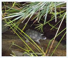 Walkin' Around (hawkmiester55) Tags: green nature animal zoo nikon nebraska turtle omaha henrydoorlyzoo l330