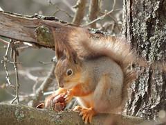 Cyril Squirrel (Jason **) Tags: red tree wil nature beautiful animal rodent nikon squirrel eating wildlife coolpix orava eichhörnchen redsquirrel scoiattolo écureuil eekhoorn リス orav voverė катерица íkorna iskojjattlu