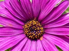 Dimorphotheca Sinuata. Африканска маргаритка (Me now0) Tags: flower nikon purple coolpix dimorphotheca sinuata маргаритка цвете никон лилав l330 nikoncoolpixl330 африканска