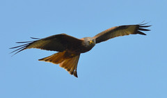 harewood house (james keats) Tags: leeds harewoodhouse southyorkshire redkite nikond7000