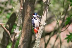 Woodpecker  2 (Vinny Burns) Tags: england bird canon eos woodpecker unitedkingdom gb 2016 ticknall calkeabbey ef400mmf56lusm 5dmkiii 5dmk3 5d3 5dmarkiii vinnyburns