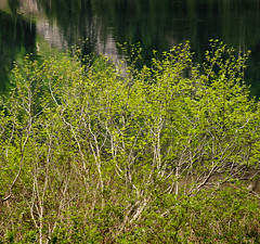 Young Vine Maples (rich trinter photos) Tags: lake washington spring mountainlake mountainloophighway laketwentytwo vinemaples
