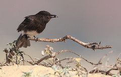 Showing the Prize (Rick Derevan) Tags: california bird phoebe blackphoebe sayornisnigricans