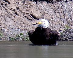 Soaking wet (diffuse) Tags: bird wet river eagle baldeagle bathing odc 16apr05 cottonwoodislandpark nechakoriver