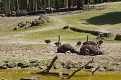 Zoo Muenster (Magdeburg) Tags: germany deutschland zoo und ostrich huhn muenster mnster guineafowl straus allwetterzoo westfalen allwetterzoomnster helmeted perlhhner perlhuhn helmperlhuhn helmparelhoen zoomuenster helmperl ostrichguineafowl