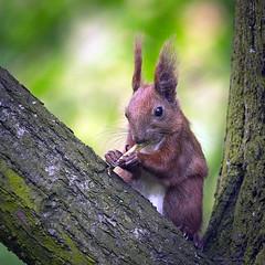 Snack time (hedera.baltica) Tags: squirrel redsquirrel wiewirka sciurusvulgaris eurasianredsquirrel wiewirkapospolita