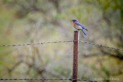 Western Bluebird (Colleen Easley) Tags: bird bluebird ellensburg westernbluebird