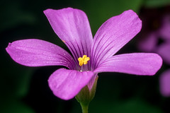 purple wood sorrel (Yunhyok Choi) Tags: macro closeup asahi pentax kr k3  macrophotograph  pentaxk3 smcpentaxfamacro50mmf28