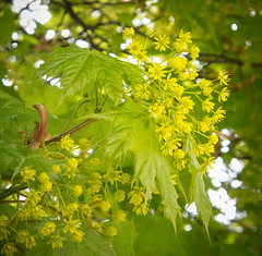 Maple (Ghita Katz Olsen) Tags: flowers green yellow spring maple bokeh