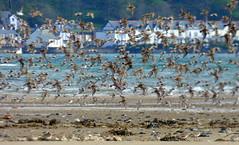 and they're off! (Sue Wolfe) Tags: flowers nature birds wales landscapes westwales wildlife cymru wildflowers ceredigion montgomeryshire meirionnydd dyfiestuary dyfi dysynni dysynnivalley welshwildlifebreaks dyfibiosphere dyfiospreyproject