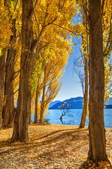 The Poplar Forest || WANAKA || NZ (rhyspope) Tags: new autumn lake pope tree fall nature water yellow forest canon island woods poplar south zealand nz 5d wanaka rhys mkii rhyspope