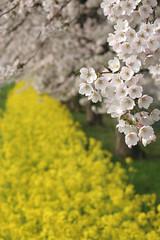 Double Fantasy02 (teracotta8) Tags: pink flower yellow japan spring cherryblossom  rapeblossom yahiko doublefantasy flickr1 spring2016   6