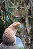 No ear cat yawning (Cloudtail the Snow Leopard) Tags: wildpark pforzheim tier animal mammal säugetier katze cat feline wildkatze wild felis silvestris gähnen yawn cloudtailthesnowleopard