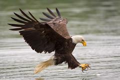 Full frame fish grab (Adam Berry Photography) Tags: virginia nikon eagle baldeagle raptor jamesriver nikond5 nikon200500