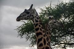 Giraffe (Nigel Nudds Photography) Tags: elephant rain tanzania shower monkey rainbow buffalo lion butterflies pelican leopard zebra crocodile antelope cheetah giraffe baboon serengeti hyrax vervet hippos dikdik agama topis