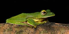 Malabar Gliding Frog (Amit Rai Chowdhury) Tags: wildlife amphibian frog frogs amphibians westernghats sharavathi malabarglidingfrog canon5dmkiii canon100mmf28lis