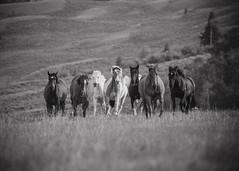 tonyworkshop395 (Muddy Love Photography) Tags: horses horse winner wyoming herd