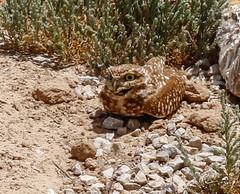 1-burrowingowl-4226-2 (h.redpoll) Tags: bigbendtrip burrowingowl elpasowetlandspark texas