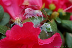 Revealed (Tatters ) Tags: flower reflection australia bubbles petal bubble azalea azalia  macromondays