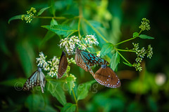 Taiwan-121113-284 (Kelly Cheng) Tags: travel color colour green tourism nature animals horizontal fauna butterfly daylight colorful asia day taiwan vivid nobody nopeople colourful traveldestinations  northeastasia