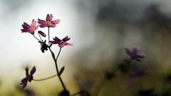 That Phototropic Feeling (Mark BJ) Tags: uk plant flower woodland manchester oldham countrypark claytoniasibirica pinkpurslane daisynook phototropic attractedtolight