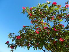 Happy bees (LeelooDallas) Tags: mountains flower rose landscape nikon europe republic czech blossom dana novy coolpix region bor lusitania liberec hory s9100 iwachow luzicke