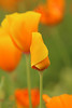 Poppy Fantasies 3 (gripspix (OFF)) Tags: 20160605 nature natur plant pflanze blüte blossom poppy mohn goldmohn californianpoppy escholziacalifornica