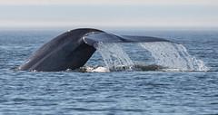 Whale (6 von 19) (karstenniehues) Tags: sea canada st whale lorenz wal whalewatching tadoussac kanada sugetier blauwal finnwal minkwal
