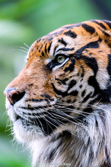Khunde  - Spaniard (Harimau Kayu (AKA Sumatra-Tiger)) Tags: animal japan swimming cat wonderful asian mammal zoo tokyo spain feline king ueno fierce tiger beast bathing sendai predator independenceday tijger carnivorous tigris rembrandt tigre bigcats sumatran fuengirola mouser grimalkin the predatory spaniard  predetor uenozoologicalgardens fierceanimal flesheating toodarnhot sumatratiger tygr tiikeri  flehmen pantheratigrissumatrae sumatraansetijger flehmenresponse the4thofjuly rembrandtlighting asiancat tigredesumatra khunde  sumatrantiikeri flickrbigcats harimausumatera bathingtiger sumatrakaplan tygrsumatersk tygryssumatrzaski  szumtraitigris       hsumatra nobeastsofiercebut kingoftheenclosure higashiyamazoologicalgardens yagiyamazoologicalgardens