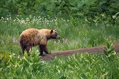 How does a Black Bear cross a meadow? (alicecahill) Tags: animal bear blackbear california mammal nationalpark sequoianationalpark sierranevada usa wild wildlife ©alicecahill droh dailyrayofhope