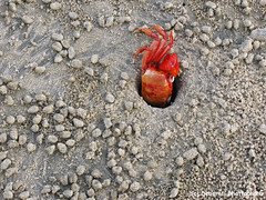 Mandarmani, West Bengal, India (Debarati Bhattacharjee) Tags: mandarmani india westbengal purbamedinipur beach seashore bayofbengal sand crab redcrab nature travel