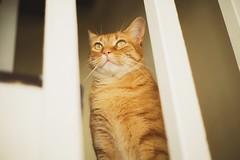 Rococ (Venus's Denizen) Tags: pet cat orangecat gato cuteness tabbycat