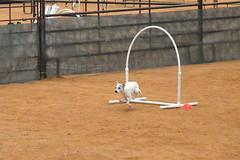agility269 (jaimekay16) Tags: dog training austin agility k9 xpress nadac k9x