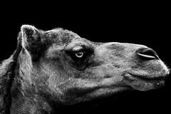 Kamel (S.T.A.R.S) Tags: portrait headshot augen lowkey kamel schnauze wimpern