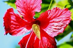 IMG_6679/Brazil/Bahia South/ Rhabdodryas Trite Banksi/Hibiscus Home (dany13) Tags: brazil butterfly papillon hibiscus borboleta bahia fantasticnature rhabdodryastritebanksi