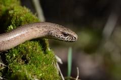 Male Slowworm, Anguis fragilis (willjatkins) Tags: britishwildlife slowworm anguisfragilis londonwildlife ukwildlife britishreptiles londonreptiles britishlizards uklizards ukreptiles ukreptilesandamphibians britishamphibiansandreptiles londonlizards