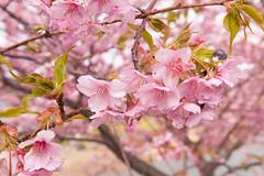 DS7_1777.jpg (d3_plus) Tags: street sea sky plant flower nature car rain japan drive spring scenery cloudy wideangle rainy  cherryblossom  sakura   shizuoka    touring  izu  kawasaki  prunus superwideangle  rapeblossoms kawazu     sakurafestival       a05   kawazuzakura  1735mmf284 tamronspaf1735mmf284dildasphericalif tamronspaf1735mmf284dildaspherical fuchico d700  nikond700 tamronspaf1735mmf284dild tamronspaf1735mmf284 kawazucherryblossom  puellamagimadokamagica  madomagi    fuchiko  tamronspaf1735mmf284dildasphericalifmodela05