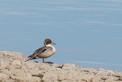 Northern Pintail (Tom Dalhoy) Tags: water rock duck northernpintail anasacuta stjertand