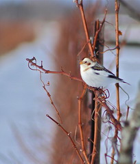 Stationary (Slow Turning) Tags: winter bird vineyard vine perch grape southernontario snowbunting plectrophenaxnivalis