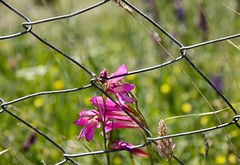 8 Mars 2015, Journée Internationale de la Femme. March the 8th, International Women's Day (Larch) Tags: pink woman flower fleur rose bokeh femme grille railings grillage womensday 8mars 8thmarch journéedelafemme marchthe8th