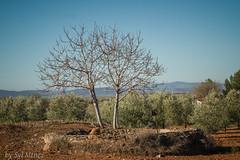 The awakening of the light in the asleep olive grove (syl mtnez) Tags: tree nature field morninglight nikon olivegrove olivar