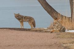 Coyote couple