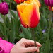 "Skagit Valley Tulips 2015 • <a style=""font-size:0.8em;"" href=""http://www.flickr.com/photos/25269451@N07/16766192717/"" target=""_blank"">View on Flickr</a>"
