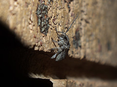 Cerambycidae Lamiinae>Dihammus? Sheep Longicorn DSCF7379 (Bill & Mark Bell) Tags: exmouth westernaustralia australia geo:town=exmouth geo:state=westernaustralia geo:country=australia geo:lon=11425453egeolat2217752sgeoalt8m 11425453e2217752salt8m taxonomy:kingdom=animalia animalia taxonomy:phylum=arthropoda arthropoda taxonomy:class=insecta insecta taxonomy:order=coleoptera coleoptera taxonomy:family=cerambycidae cerambycidae taxonomy:subfamily=lamiinae lamiinae taxonomy:genus=dihammus dihammus taxonomycommonnameflatfacedsheeplongicornbeetle flatfacedsheeplongicornbeetle animal fauna beetle