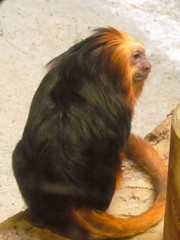 Golden-headed lion tamarin (pastough) Tags: southcarolina columbia riverbankszoo leontopithecuschrysomelas goldenheadedliontamarin december2014